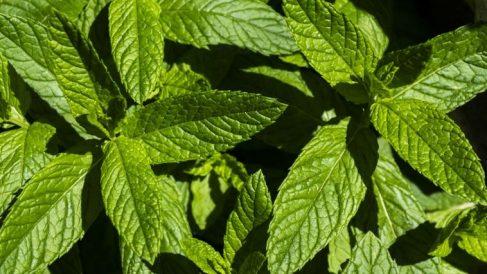 Usos de las plantas medicinales