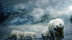 El oso polar, estandarte de la fauna del clima polar