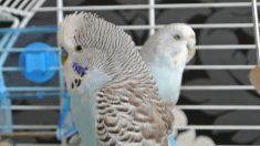 Facebook: Un periquito azul aprende a hablar inglés