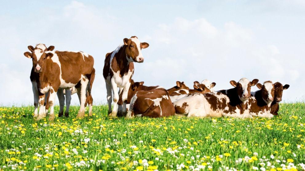 La vaca, el animal más grande del mundo… Dentro de 200 años
