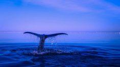El canto de las ballenas, toda una cuiriosidad del reino animal.