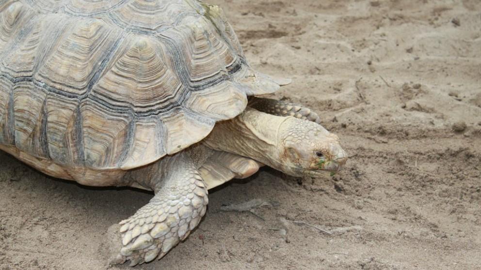El caparazón de las tortugas debe cuidarse bien.