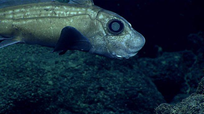 Fosa de las Marianas: especies que se pueden encontrar