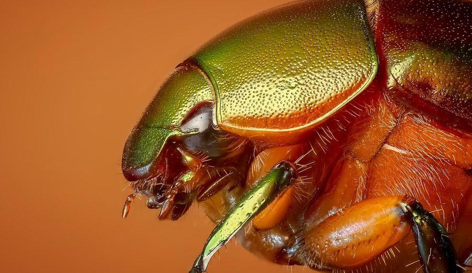 Características del escarabajo blanco