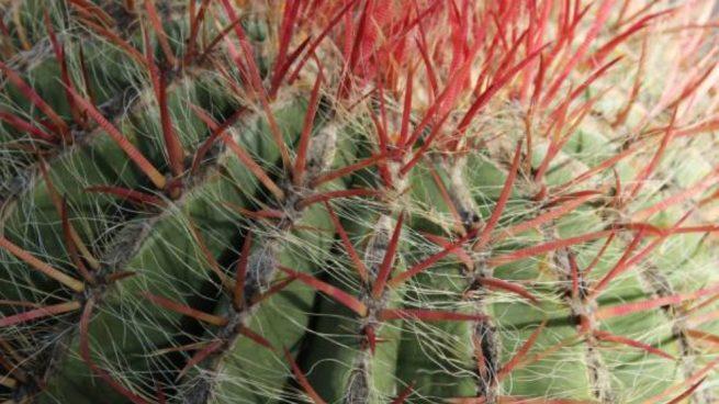 Cmo recuperar un cactus seco paso a paso