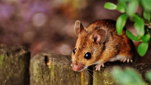 Pasos para hacer un repelente de ratones casero