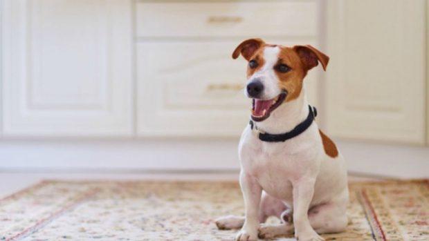 entrenar a un perro para que se siente