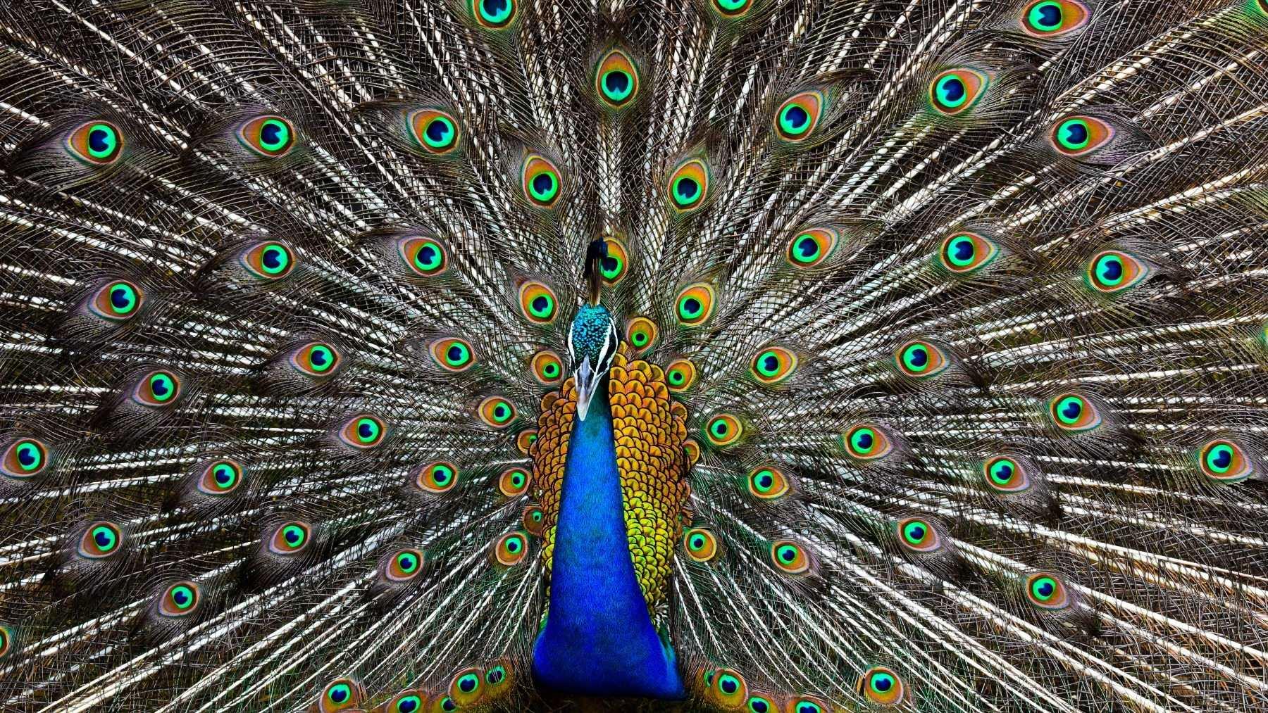 Las plumas del pavo real son especiales