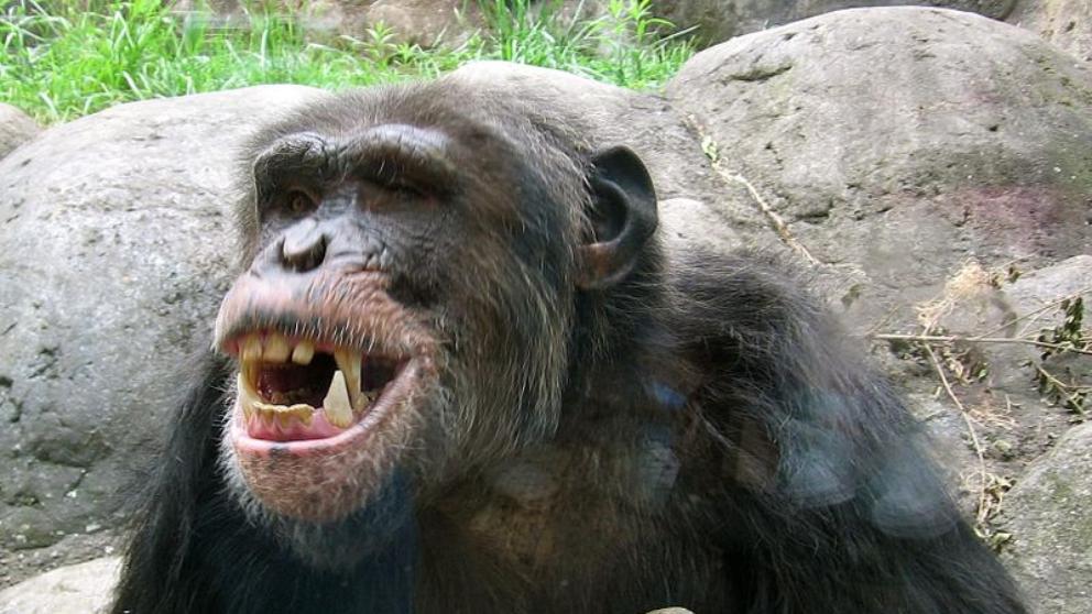 Humanos y chimpancés: parecidos razonables