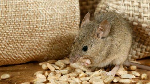 Distintas ideas para hacer repelente para ratas casero