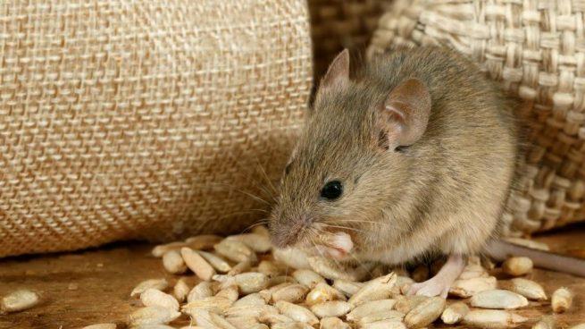 C mo hacer repelente para ratas casero con diferentes trucos for Ahuyentar ratas jardin
