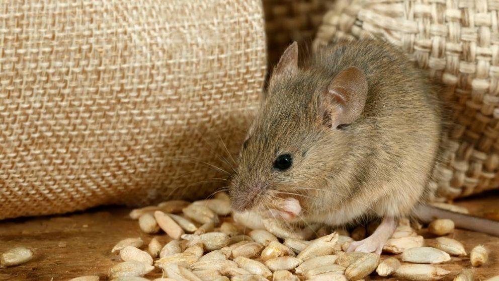 C mo hacer repelente para ratas casero - Hacer una manta de ganchillo ...