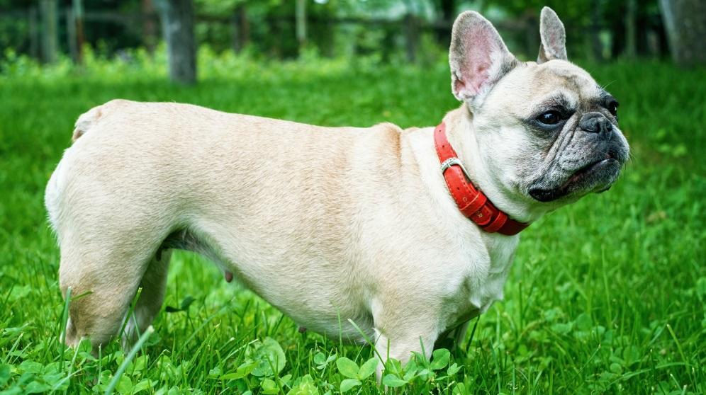 Cómo hacer un collar para perros de diferentes maneras