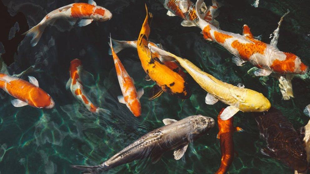 Diferencias entre peces de agua dulce y salada