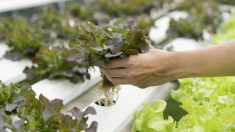 Aprende cómo hacer cultivo hidropónico casero