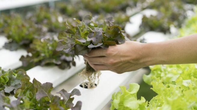 cultivo hidropónico casero