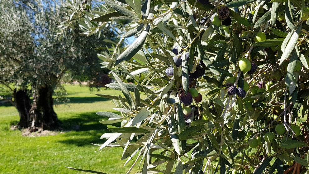 Aceituna negra (Foto: iStock)