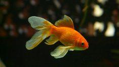 """El famoso """"pez rojo""""."""