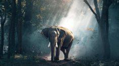 El elefante, en peligro de extinción.