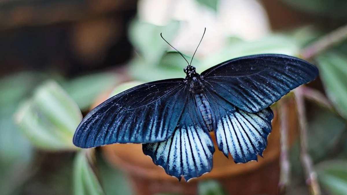 ¿Cuál es la leyenda de la mariposa azul y cuál es su significado?