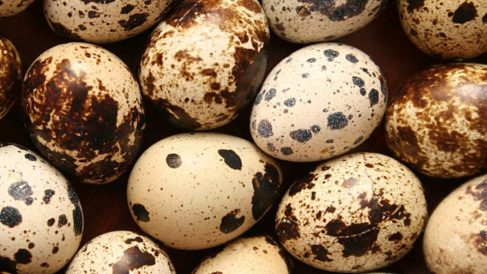 Aprende paso a paso cómo incubar huevos de codorniz