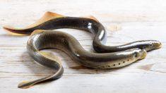 Las lampreas son peces cuyo hábitat suele ser el Atlántico Norte.