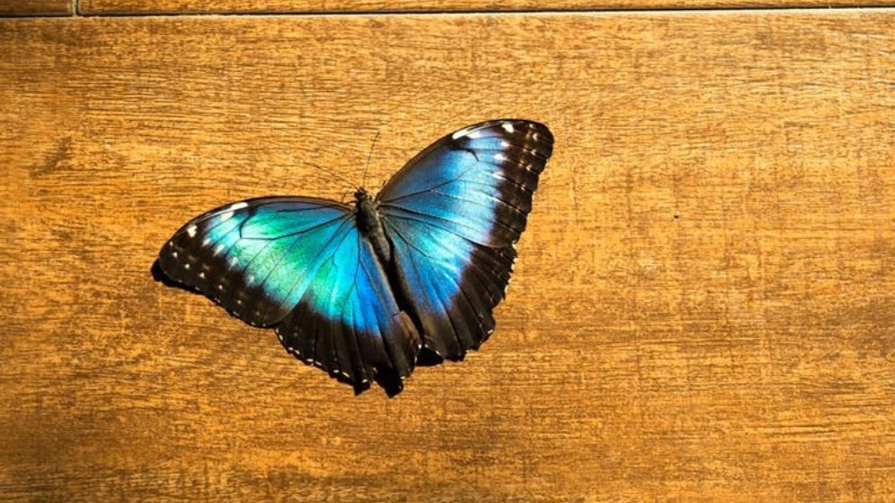 Descubre la leyenda de la mariposa azul