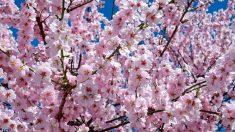 Los cerezos, una de las flores japonesas más famosas.
