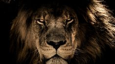 El significado de los animales tiene al León como uno de los principales.