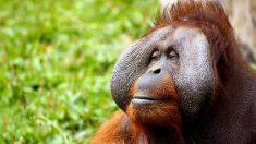 El orangután de Indonesia, una de las nuevas-especies.