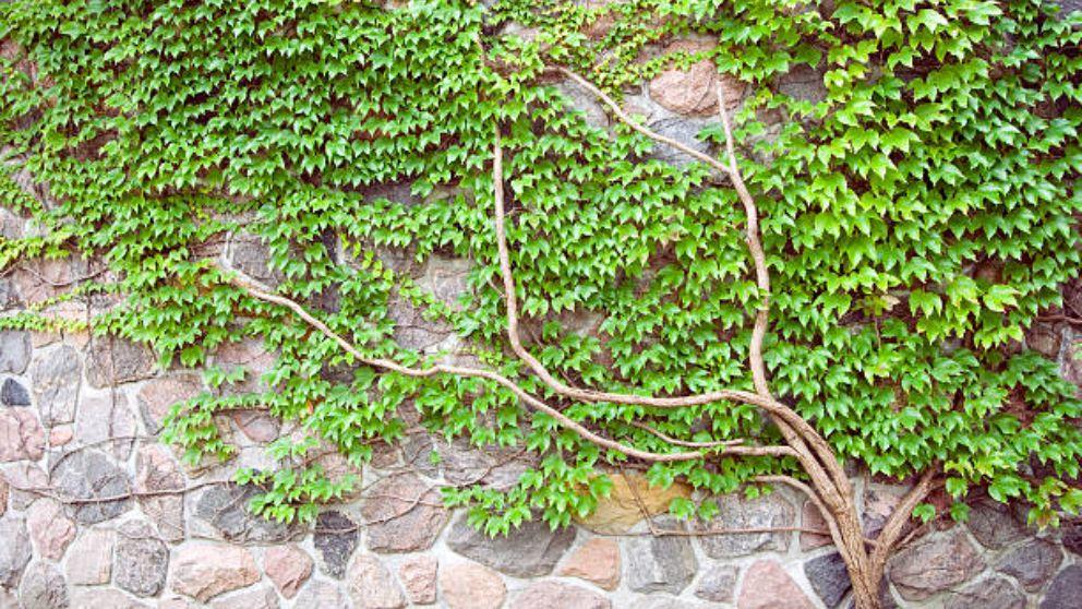 Aprende paso a paso, cómo plantar una enredadera
