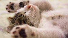 Beneficios de tener un gato en la casa familiar