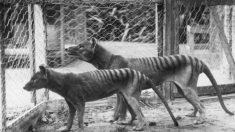Cómo eran y porqué se extinguieron los Tigres de Tasmania