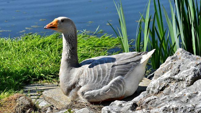 Las plumas de ganso son muy codiciadas.