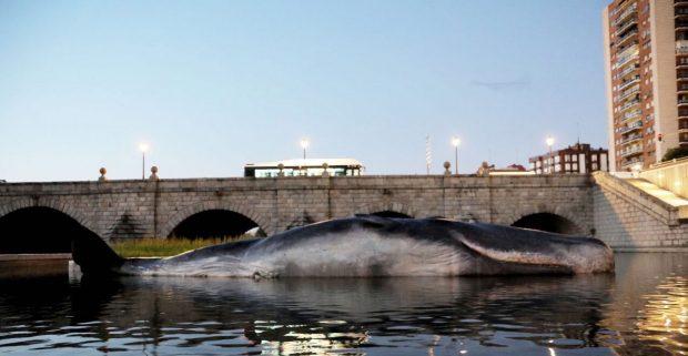 Un cachalote varado en el río Manzanares de Madrid,