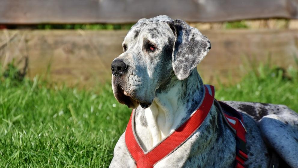 El grand danés, un perro que merece la pena conocer.