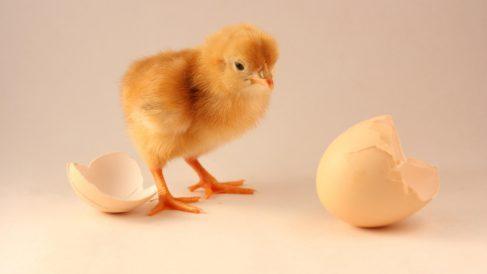 La ciencia explica qué fue antes, el huevo o la gallina