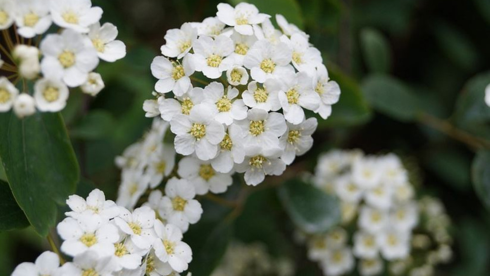 El espino blanco aporta diversidad de vitaminas