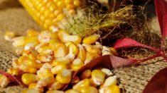 El maíz es uno de los alimentos más saludables y equilibrados de todo el mundo