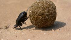 Conoce más sobre el escarabajo pelotero.