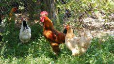 Tus gallinas se alimentarán de lujo con un pienso casero