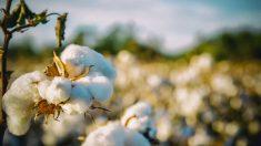 Imagen de archivo de una planta de algodón.