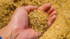 El germen de trigo está contraindicado para las personas que no pueden consumir gluten.