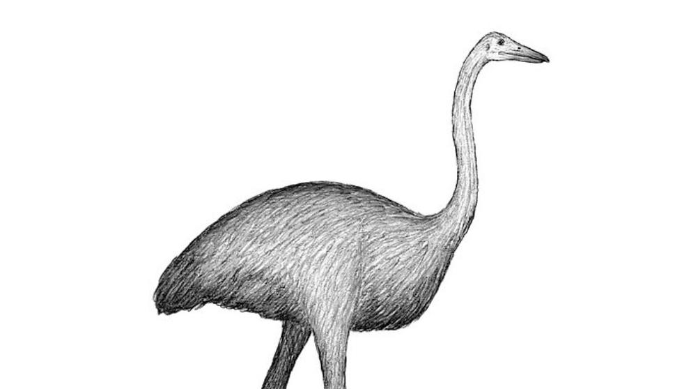 Así era el ave elefante, el pájaro más grande del mundo