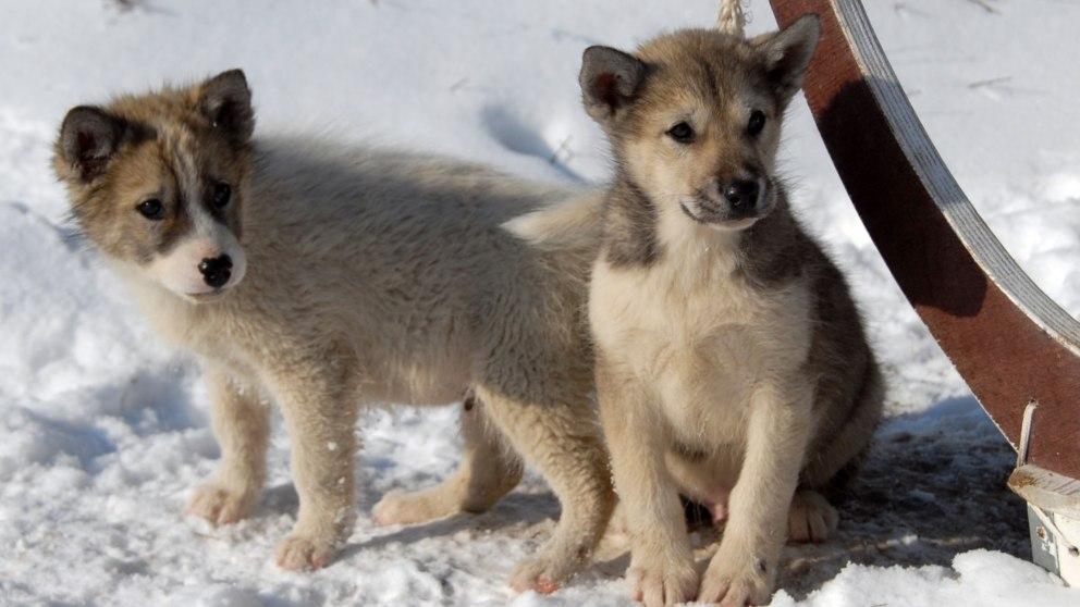 La ciencia explica por qué el lobo no es el mejor amigo del hombre, pero sí el perro