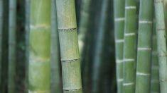 El bambú, el material del que se fabrican los calcetines de bambú.