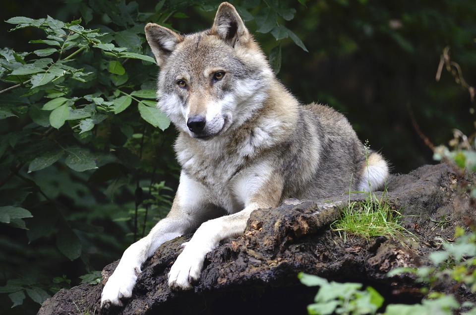 El lobo, la víctima del chorco.