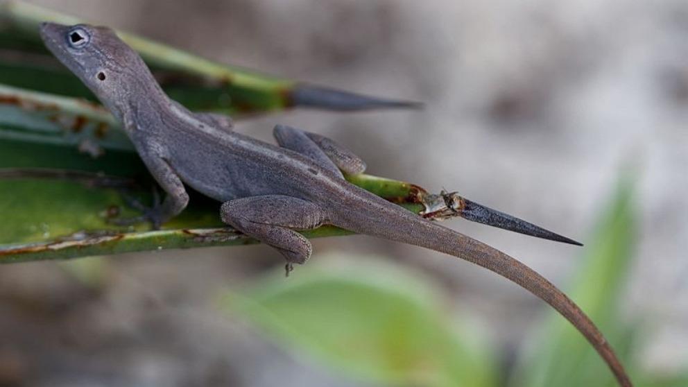Sorprendente investigación muestra cómo el huracán pudo cambiar la anatomía de la lagartija