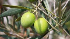 Las aceitunas tienen apenas cuatro o cinco calorías por unidad