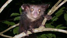 Así es el lémur aye aye, el primate más raro de Madagascar